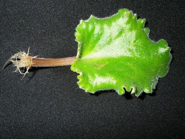 Влияние гетероауксина на растение как стимулятора роста