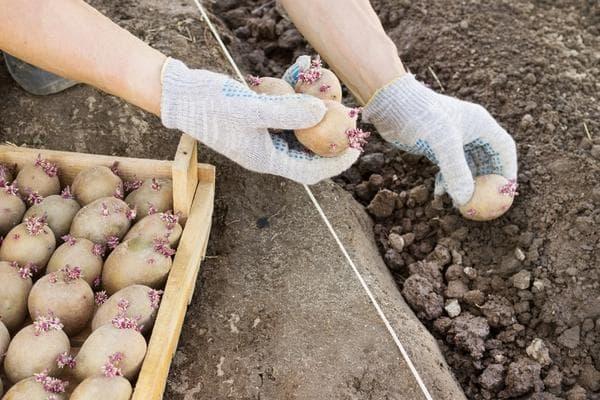 Клубни картофеля перед посадкой