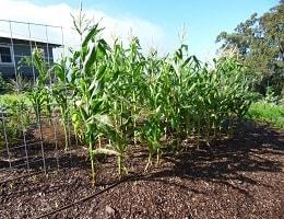 Как посадить кукурузу в огороде?
