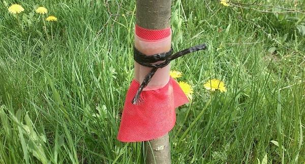 Ловчий пояс на дереве