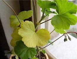 Жёлтые листья на комнатной герани