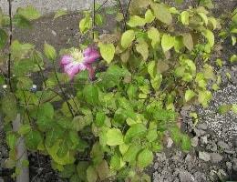 Почему не цветёт клематис?