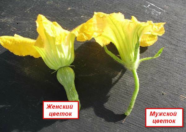 Цветки кабачков