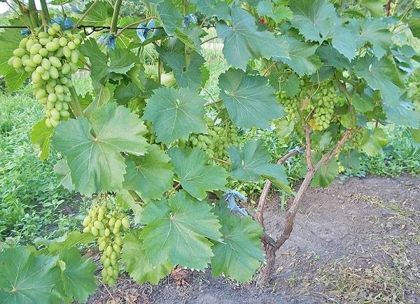 Виноградная лоза летом