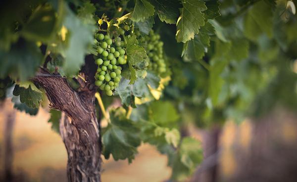 Гроздь винограда на лозе летом