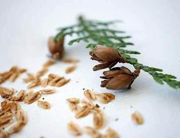 Как вырастить тую из семян?