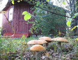 Как вырастить грибы на даче?