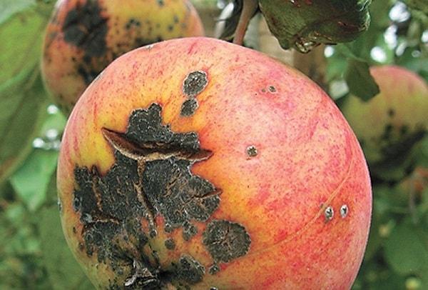 Фото. Яблоко, поражённое паршей