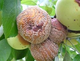 Яблоки поражённые плодовой гнилью