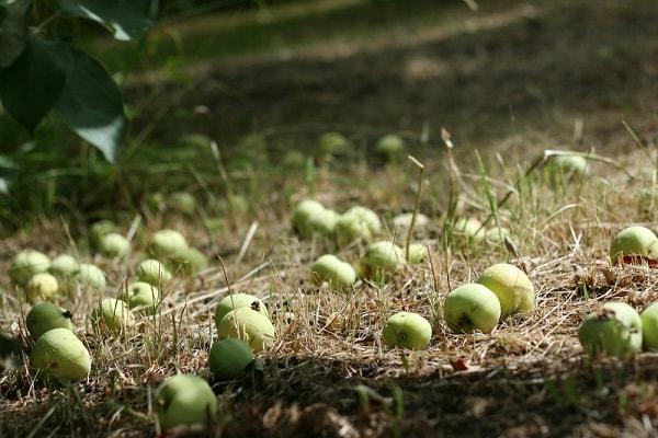 Яблоки на земле