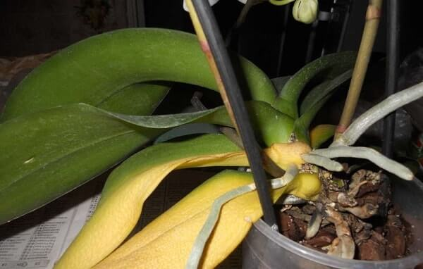 Удаляем все жёлтые листья при пересадке