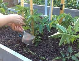 Полив помидоров жидким удобрением
