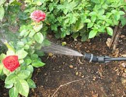 Опрыскивание роз от мучнистой росы