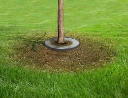 Как избавиться от муравьев на плодовых деревьях?