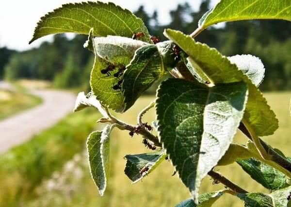 Муравьи на яблоне