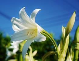 Белая лилия при лечении шейного остеохондроза