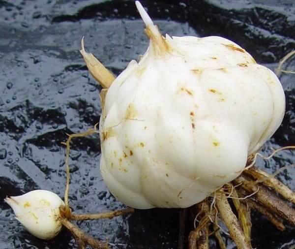 Луковицы белой лилии