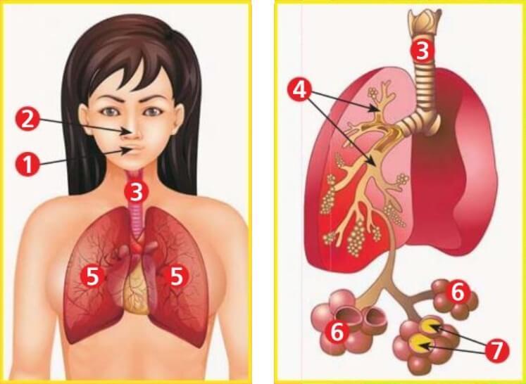 Воспаление лёгких. Симптомы