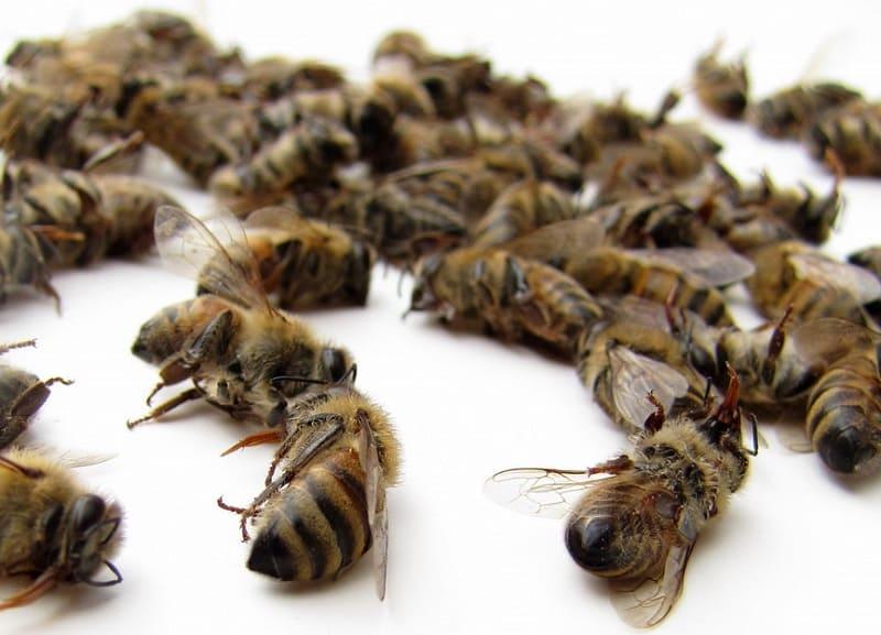 Пчелиный подмор при гипертонии