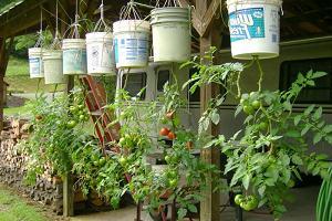 Выращивание помидор вверх корнями