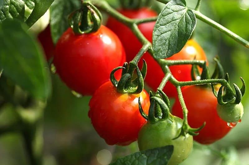 Способ ускорения созревания томатов