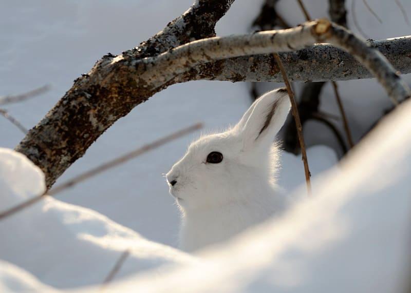 Как защитить кору плодовых деревьев от зайцев?