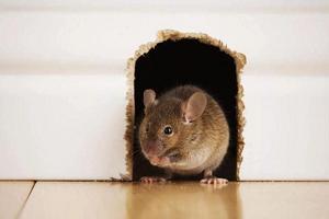 Борьба с мышами в доме