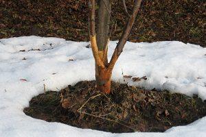 Как уберечь деревья от зайцев?
