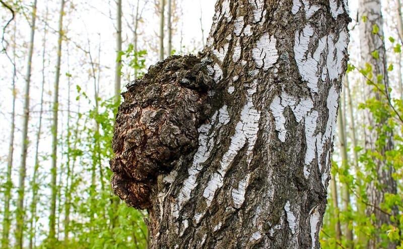 Чага березовый гриб на дереве