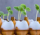 Выращивание рассады в скорлупе от яиц