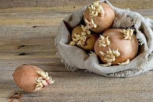 Картошка с ростками
