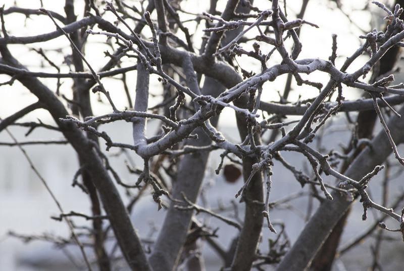 Плодовые деревья после зимы