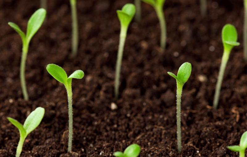 Почему не всходят семена?