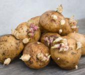 Проросшие ростки картофеля