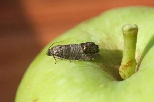 Бабочка яблонной плодожорки