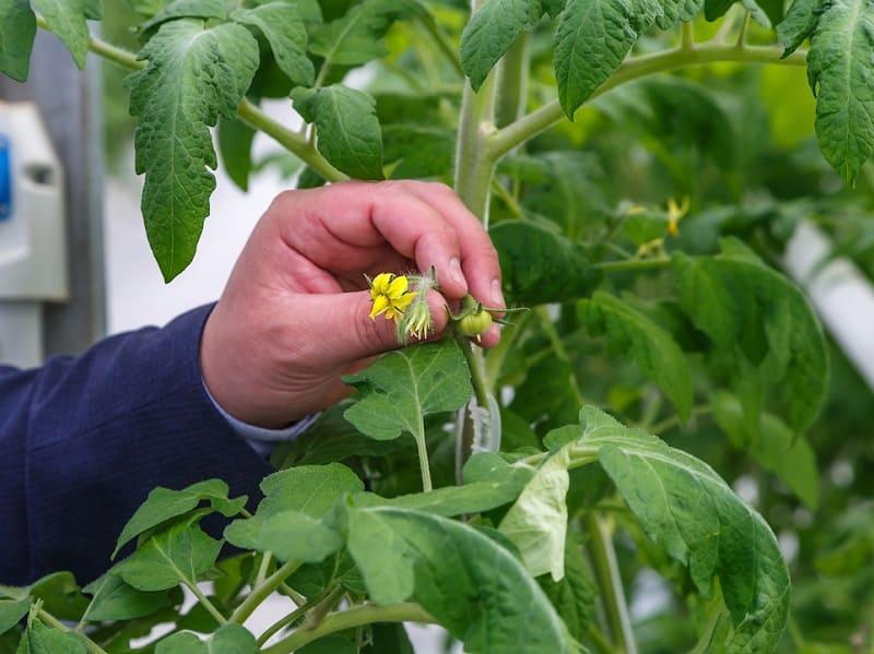 Искусственное опыление томатов