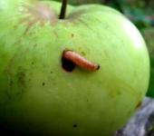 Гусеница яблонной плодожорки