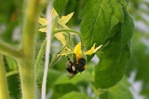 Как привлечь пчёл на помидоры?