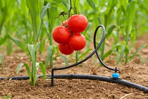 Капельный полив под помидоры