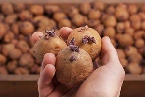 Картофель пророс при хранении