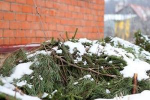 Укрываем лапником растения на зиму