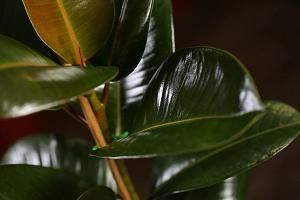 Блестящие листья фикуса