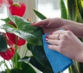 Протираем листья комнатных растений
