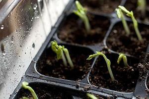 Как поливать молодую рассаду?