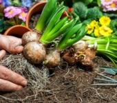 Посадка луковичных цветов