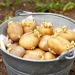 Картофель в ведре для перед посадкой