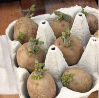 Проращиваем картофель в лотках из-под яиц