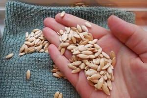 Семена огурцов на руке