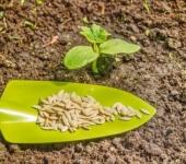 Как прогреть семена огурцов перед посадкой?