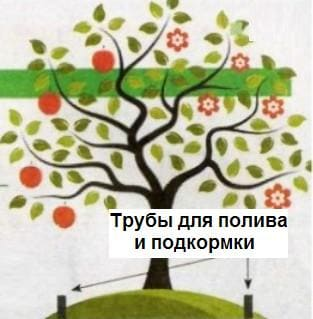 Схема полива саженцев плодовых деревьев